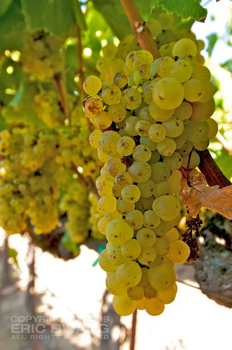 More clusters showing signs of Botrytis (noble rot)