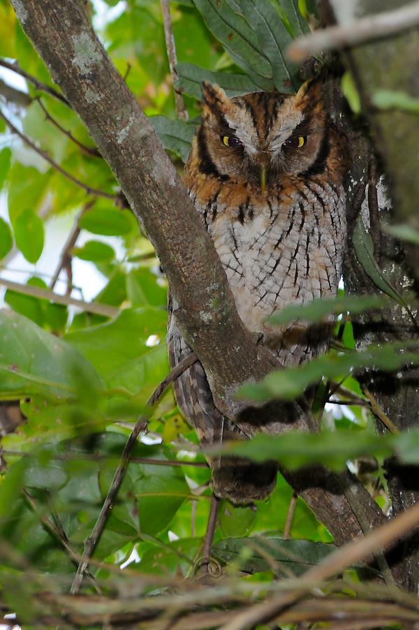 Imagen de una de las aves del Quindio: Currucutu Comun (Megascops Choliba)