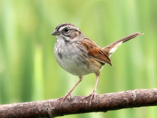 Swamp Sparrow 2-20110512