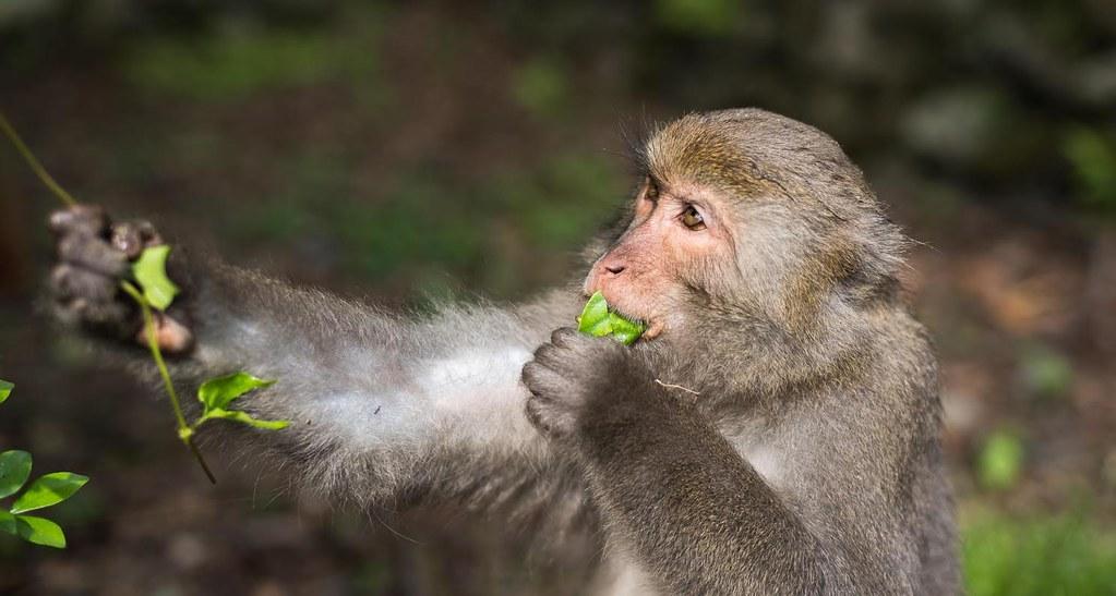 力麗馬告生態園區 棲蘭山莊的獼猴