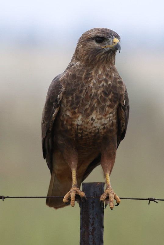 Common Buzzard (Steppe Buzzard), Buteo buteo vulpinus, on a fence along the R42, Gauteng, South Africa