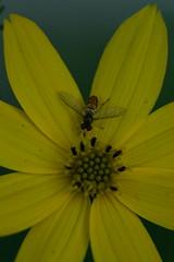 Tiny Bee on Coreopsis