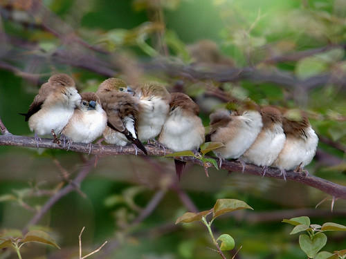 A flock of Indian Silverbill