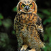 Young Great Horned Owl!