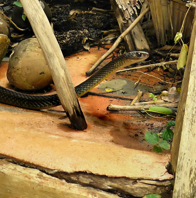 A White Bellied Rat Snake Encounter Flickr Photo Sharing