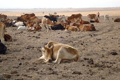 Cattle in the great Kenya drought of 2009