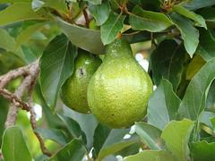 fruit tree, evergreen, pear, fruit,
