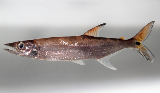 Header of Acestrorhynchus microlepis