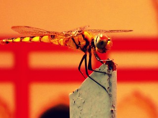 Golden Dragonfly at Hindu Temple
