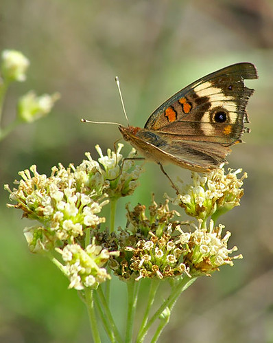 nature butterfly nationalpark texas wildlife lepidoptera habitat commonbuckeye lbjnationalgrasslands