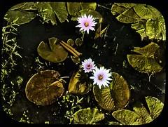 Lotus flower beds