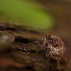 Cicada, the great sacrifice, Singapore, Bishan Park