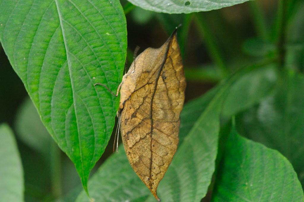 Kallima inachus 枯葉蛺蝶 DSC_0959
