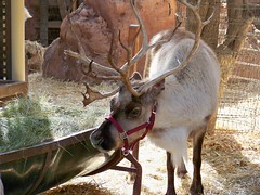 Reindeer at Santa's Reindeer Round-Up