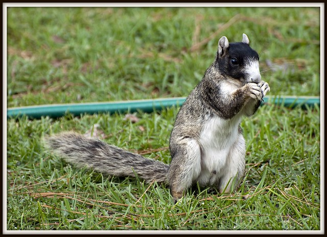R Is For Raccoon Southern Fox Squirrel ...