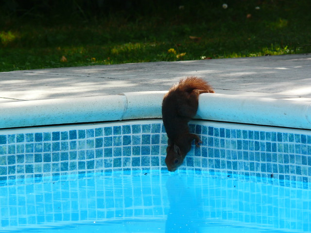 Red Squirrel Drinking In The Swimming Pool Flickr Photo Sharing