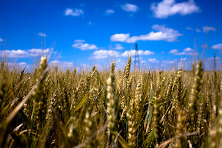 Wheat Field [E-X-P-L-O-R-E-D]