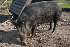 animal, peccary, wild boar, domestic pig, pig, fauna, pig-like mammal,