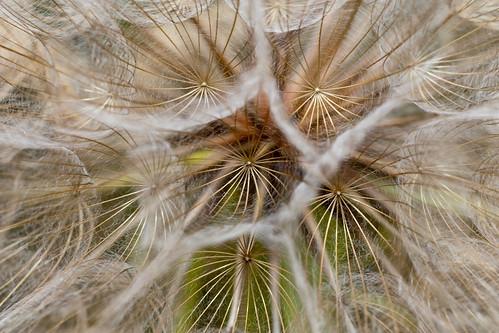 plant flower colorado dandelion vallecitolake