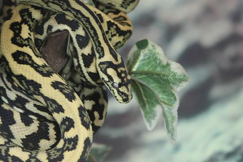 Morelia spilota | The Reptile Database