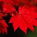 Small photo of Acer Japonicum 'Vitofolium'