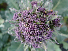 Purple sprouting broccoli by Nick Saltmarsh