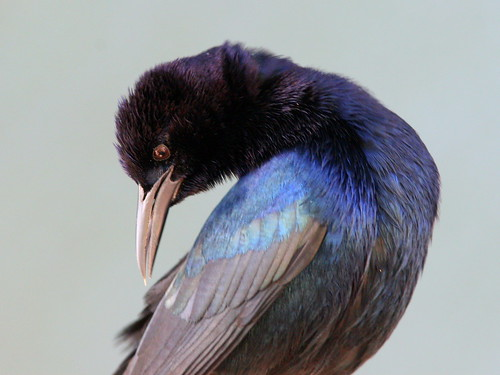 Boat-tailed Grackle 20091119
