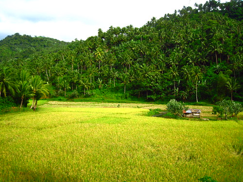 trees lake green rural philippines ricefield bicol province buhi dhainel