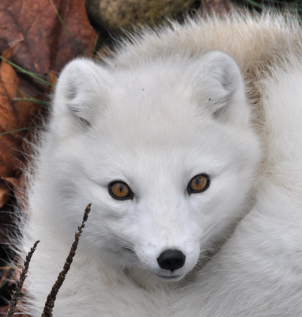 Foxes (Gallery 1) - a gallery on Flickr