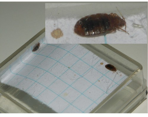 Newly mated male & female bed bugs