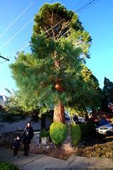sequoia, grandma neeta, and the sequoia giganteum in…