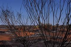 GD_burned bush