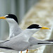 Least Tern - Photo (c) Maggie.Smith, some rights reserved (CC BY-NC)
