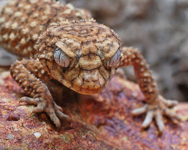 Rough Knob Tailed Gecko Flickr Photo Sharing