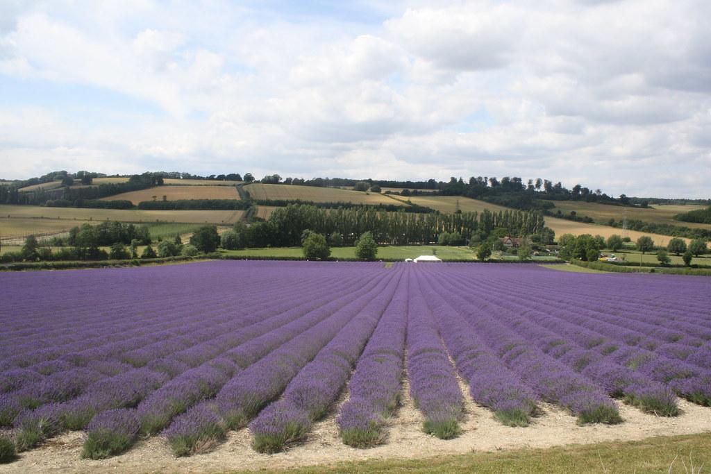 Lavender field,  Kent