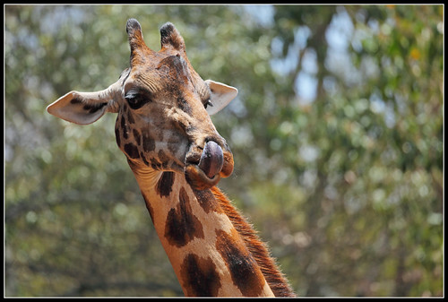 Giraffes Do Have Purple Tongues