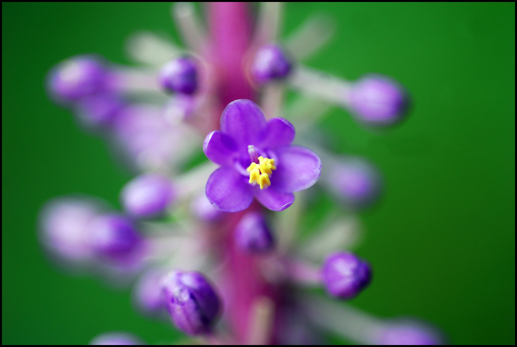 purple flower with yellow center and green background  a photo on, Beautiful flower