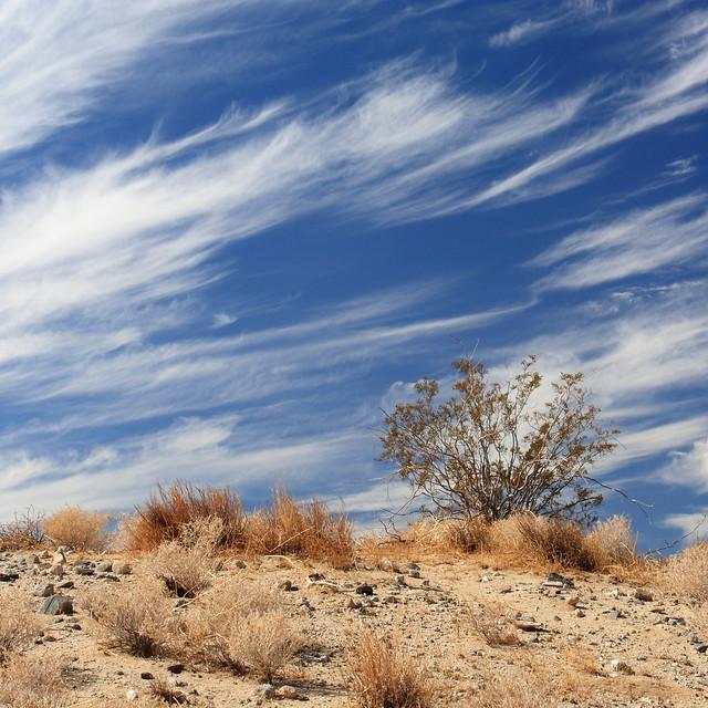 Mojave Desert Native Plants: Creosote Bush In The Mojave Desert