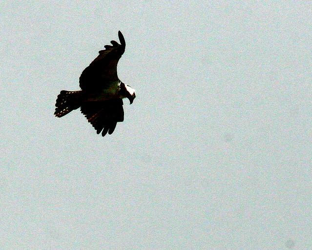 Osprey Hovering 20091028