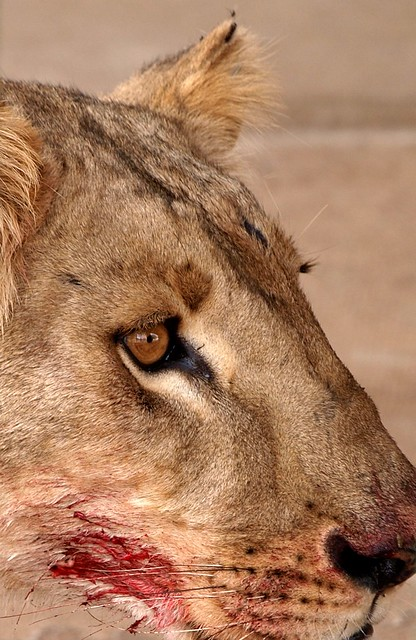 A lion's portrait