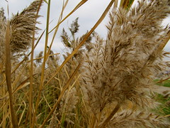 hordeum, agriculture, food grain, grass, plant, phragmites, crop, cereal,