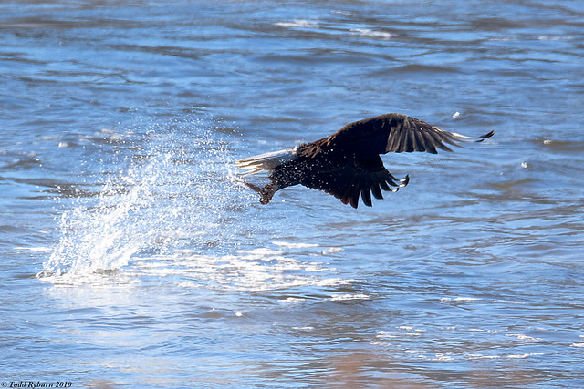Bald Eagle Catching Fish http://www.flickr.com/photos/tryburn/4238302733/
