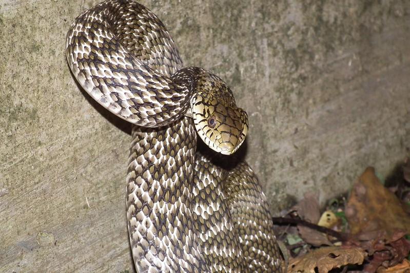 俗稱臭青公的王錦蛇,鄉下民眾對牠不陌生,跟眾蛇們一樣是受到持續干擾才會擺出攻擊姿態!