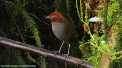 Chestnut-naped Antpitta, Grallaria nuchalis, We have an amazing birding tour, around (western, central and eastern andes Colombia).  Bogota Birding is a company specialized in offering birding trips, orchids & mammals  in Colombia