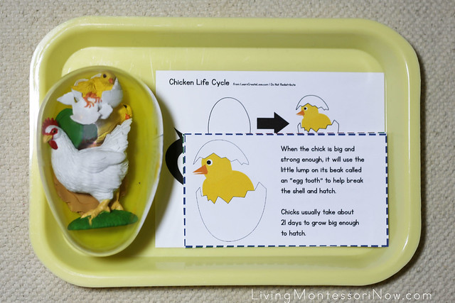 Montessori Monday MontessoriInspired Life Cycle Activities – Chicken Life Cycle Worksheet