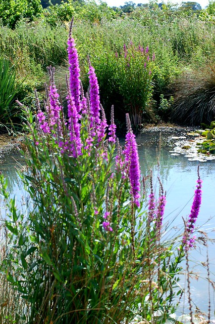 The habitat of purple loosestrife a troublesome plant