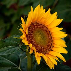 McKee-Beshers Sunflowers 2009-3