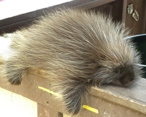 Cute Porcupine Guy