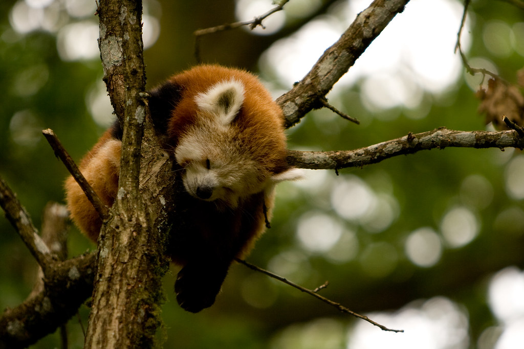 Red Panda Almost Falling Down While Sleeping