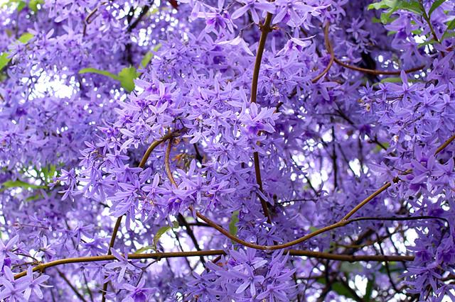 Petreas ficam floridas o ano todo no Brasil [ source ]